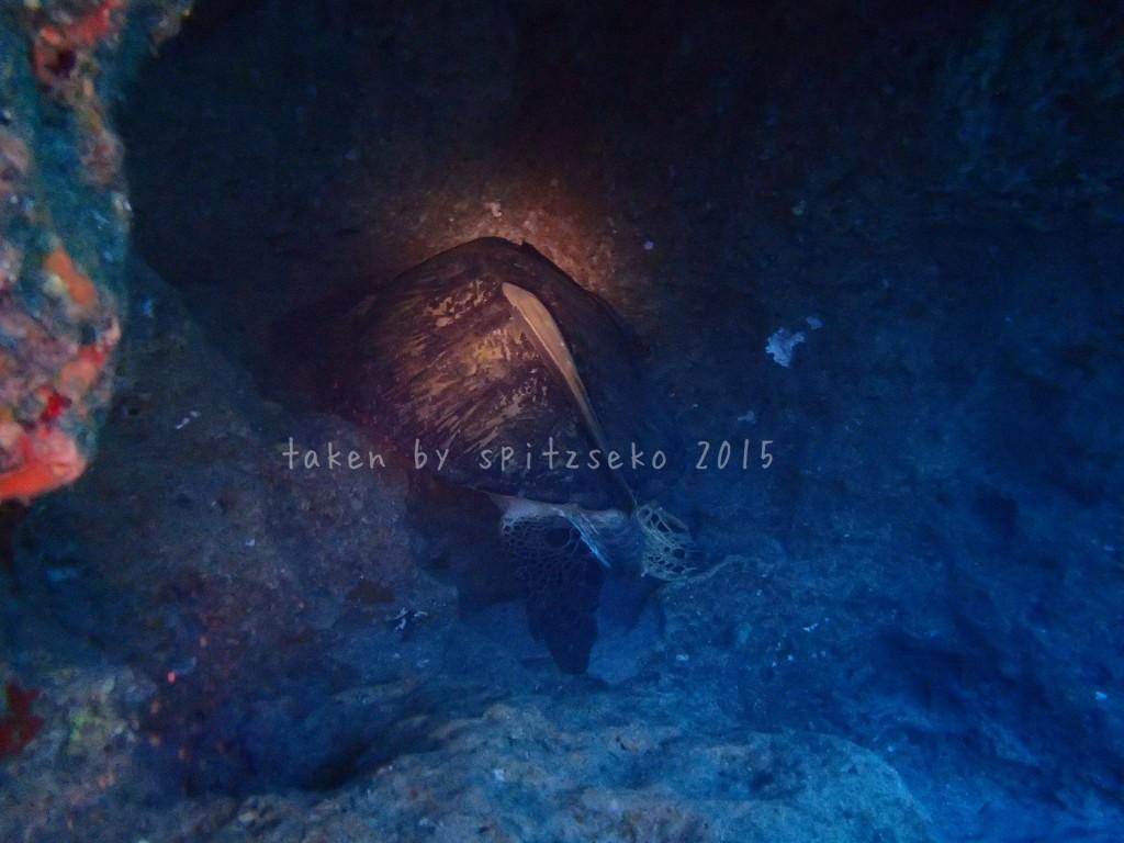 最近の定番、巨大なカメ、穴の奥で止まっていました