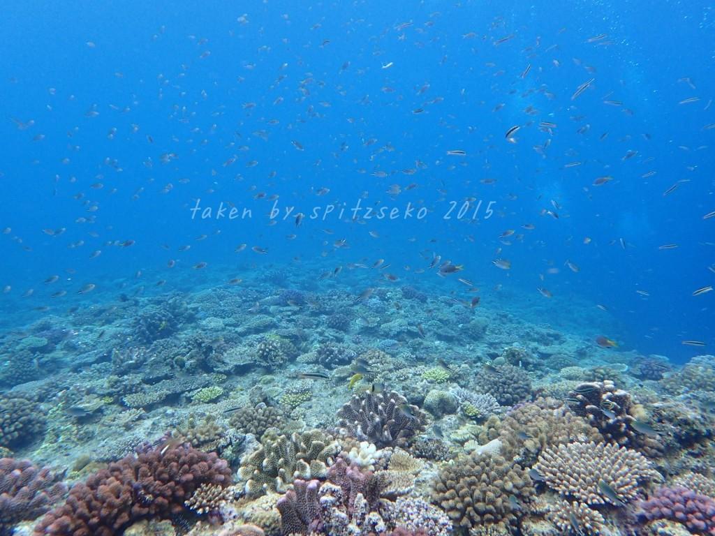 恩納村の海はサンゴが復活してますよ!!