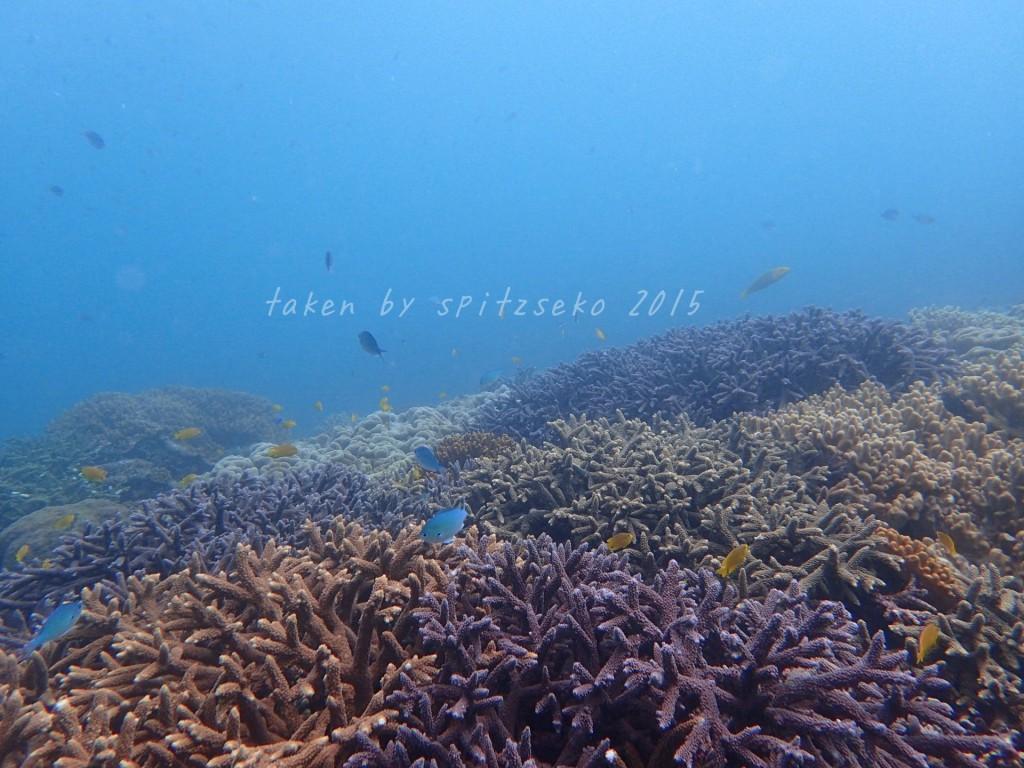 宜野湾沖もサンゴがいっぱい