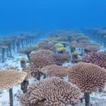 サンゴ畑に整然と並ぶサンゴたち、成長してます