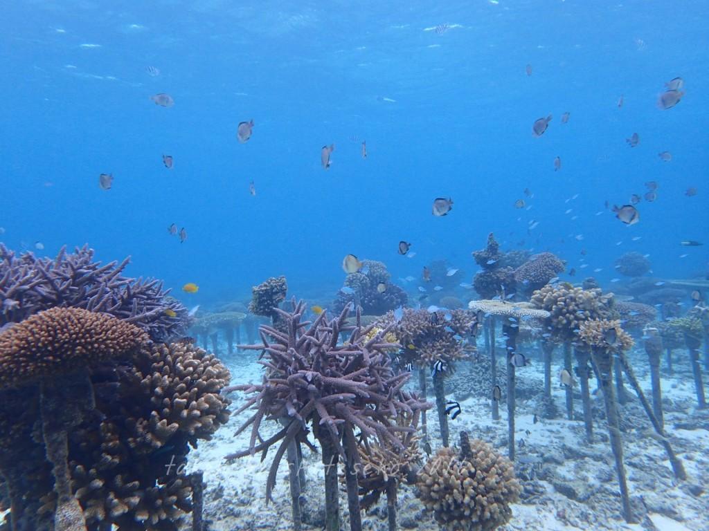 サンゴ畑は冬でも元気でした