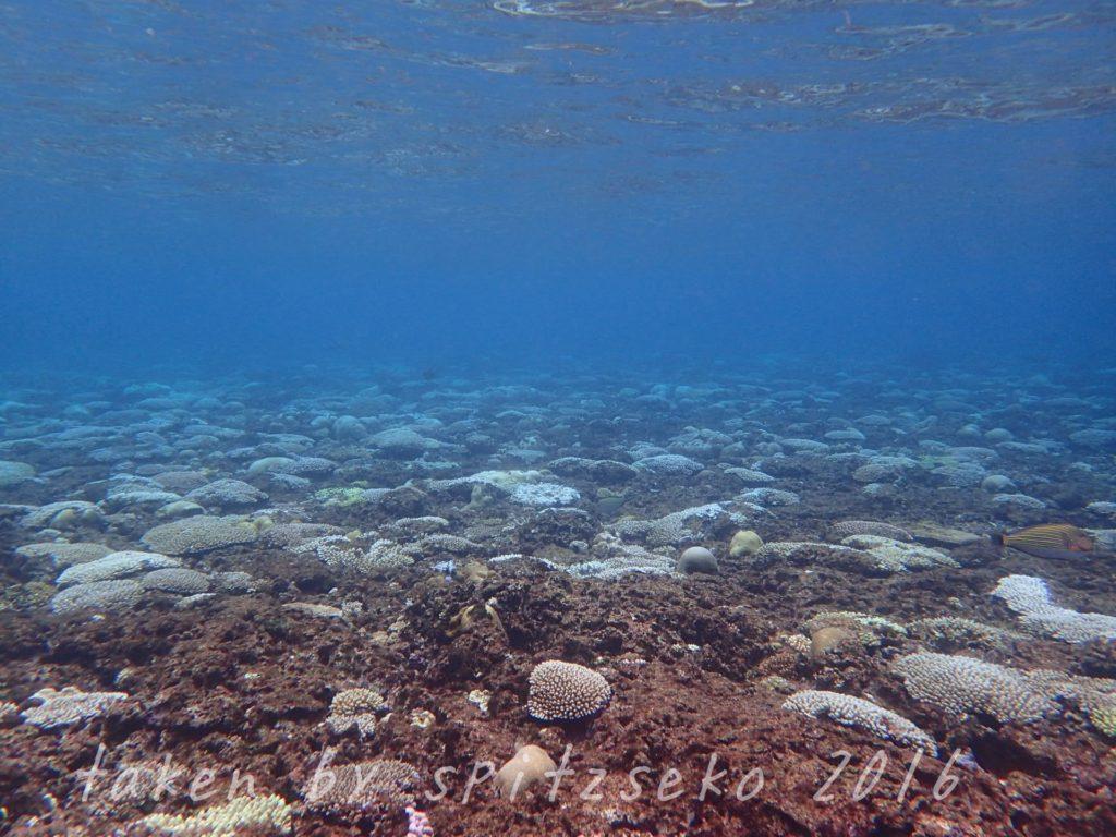 水深1Mくらいのサンゴ、白化真っ盛り