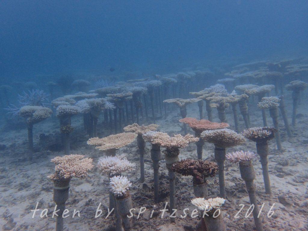サンゴ畑にも白化の影響が