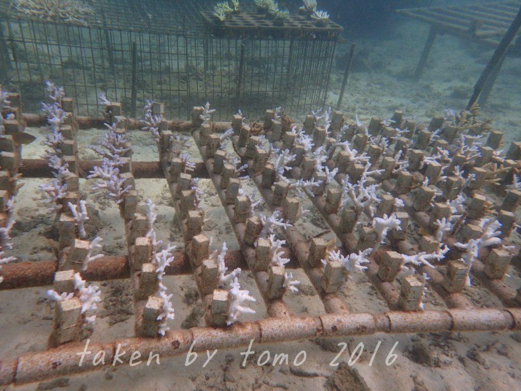 サンゴ畑の白化が止まらない