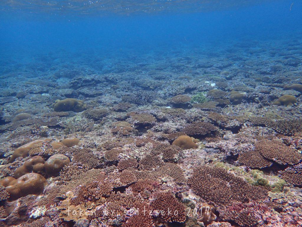サンゴたち、生き延びてます