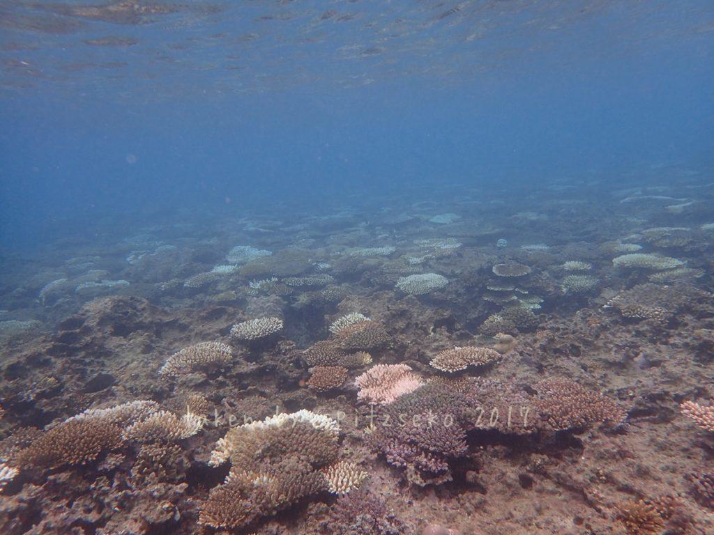 超浅場のサンゴはここでもやはり白化していました