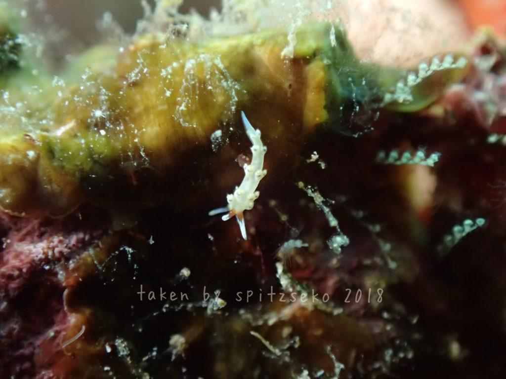 アオセンミノウミウシ