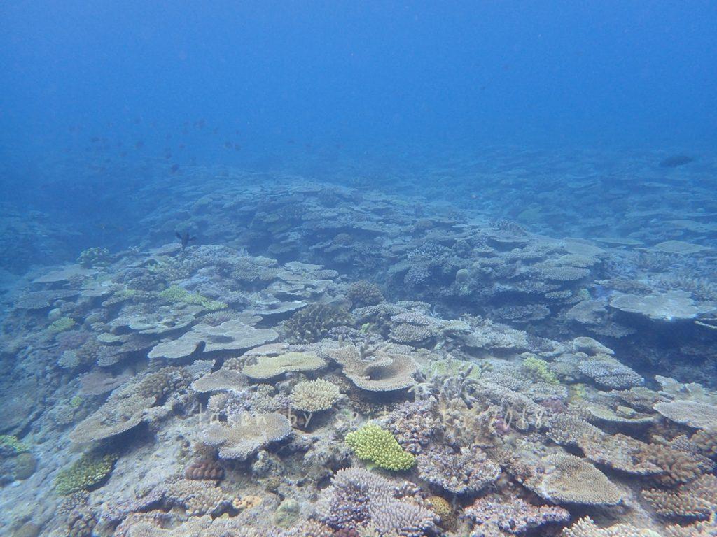 万座の海にはサンゴもいっぱい