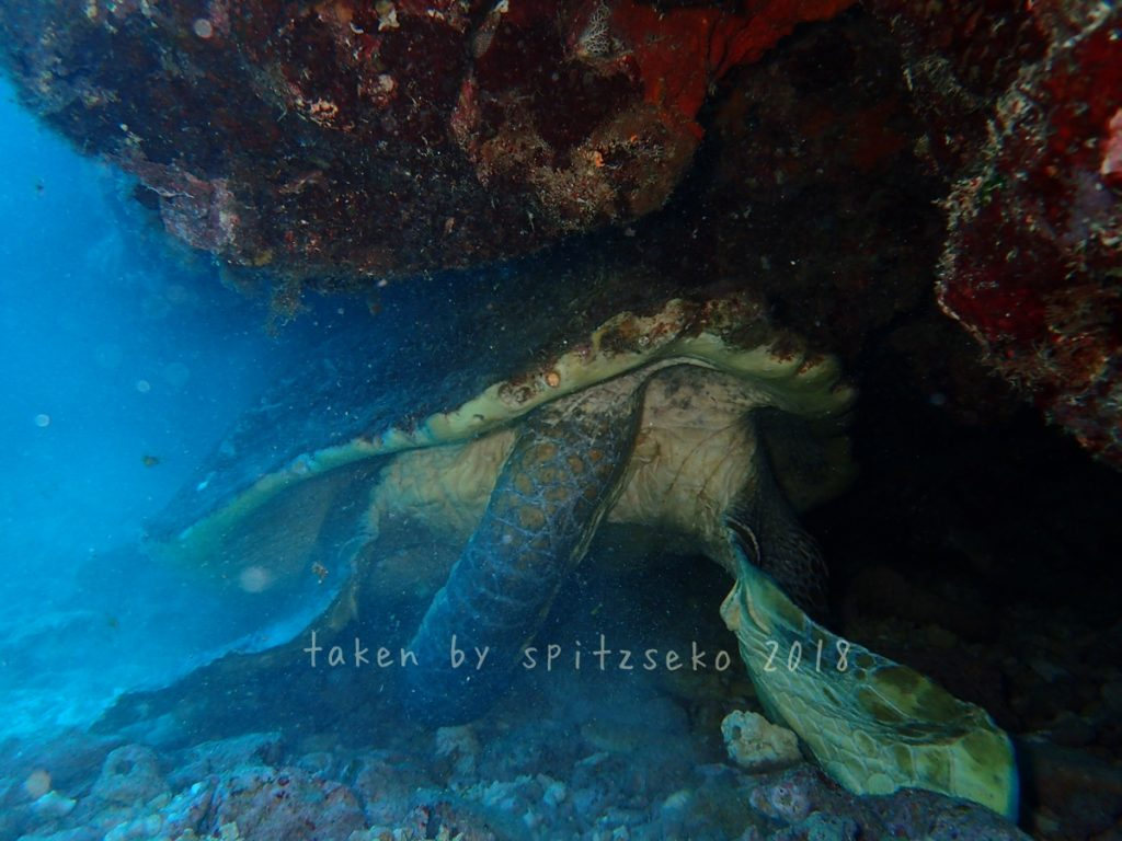 ガメラウミガメの巨大な交接器