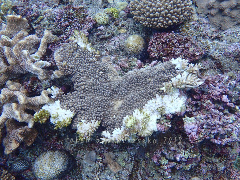 台風後、サンゴの周囲が白くなっている個体が目立ちました