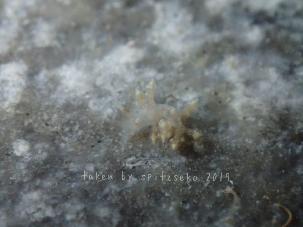 ゴシキミノウミウシ属の一種