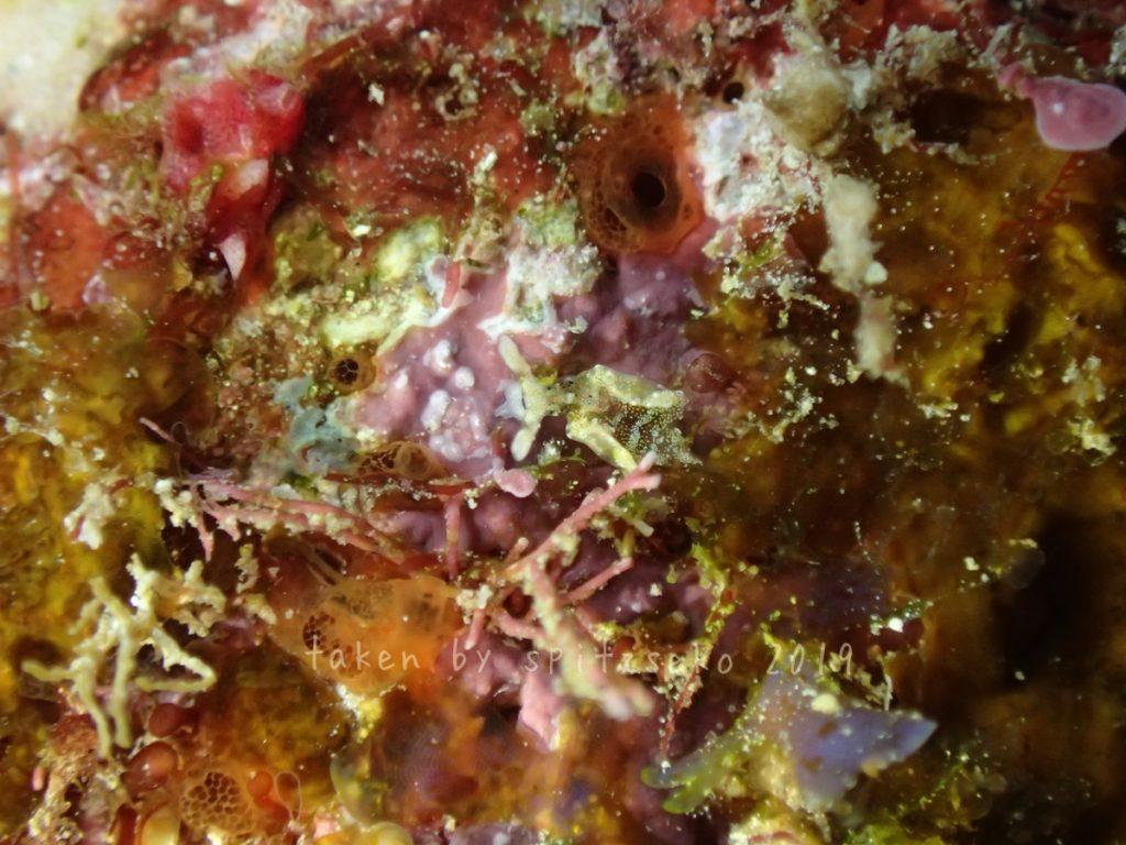 ゴクラクミドリガイ属の一種