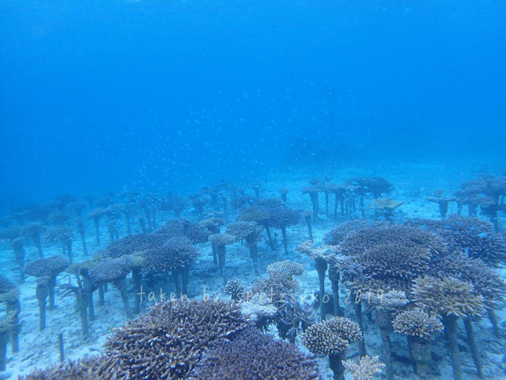 サンゴの養殖場