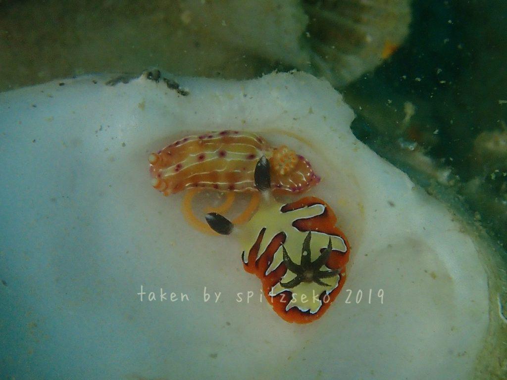 フジナミウミウシ+センテンイロウミウシ産卵中