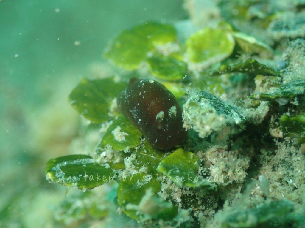 カンムリハラックサウミウシ