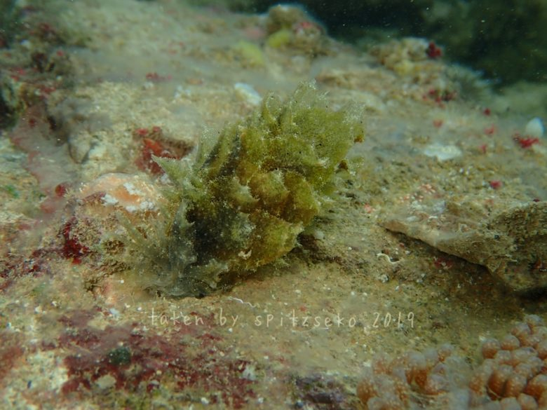 ポリブランチア・ジェンセンアエ Polybranchia jensenae