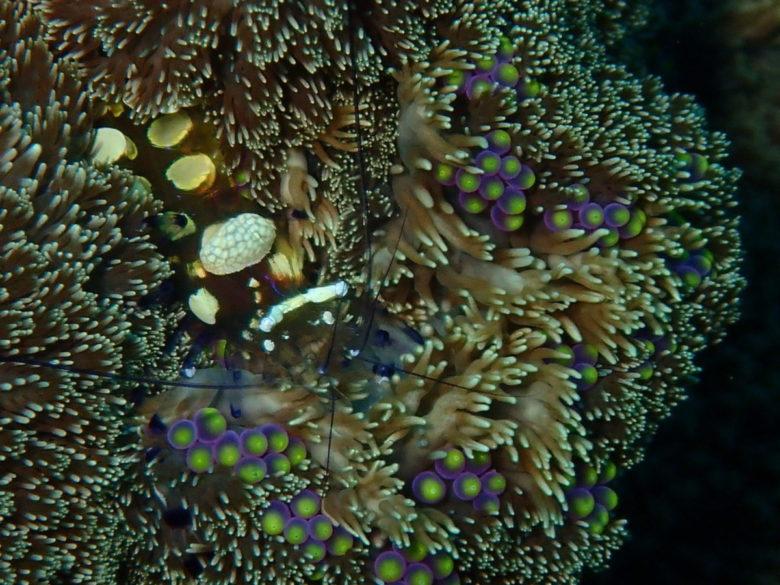 ミノイソギンチャクに大きなイソギンチャクエビ